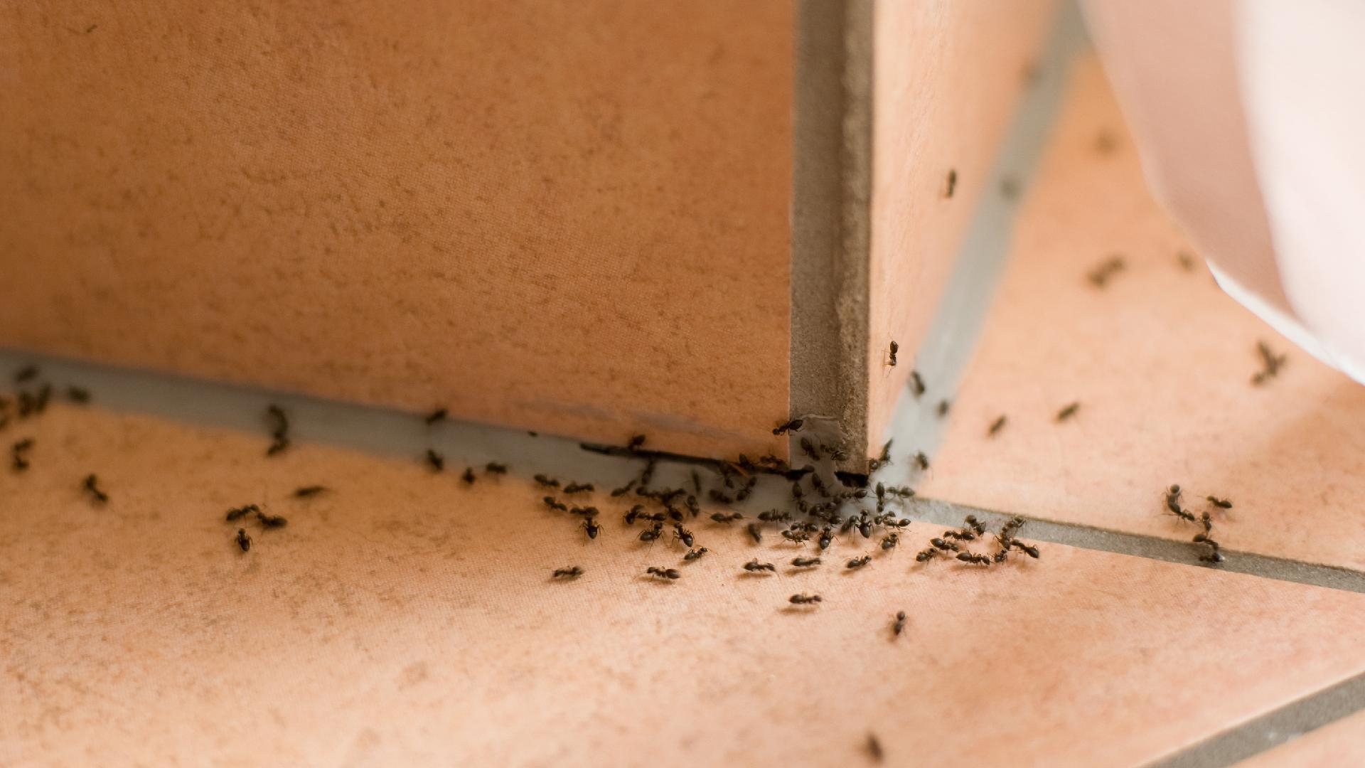 Halifax Carpenter Ants and How to Exterminate Them